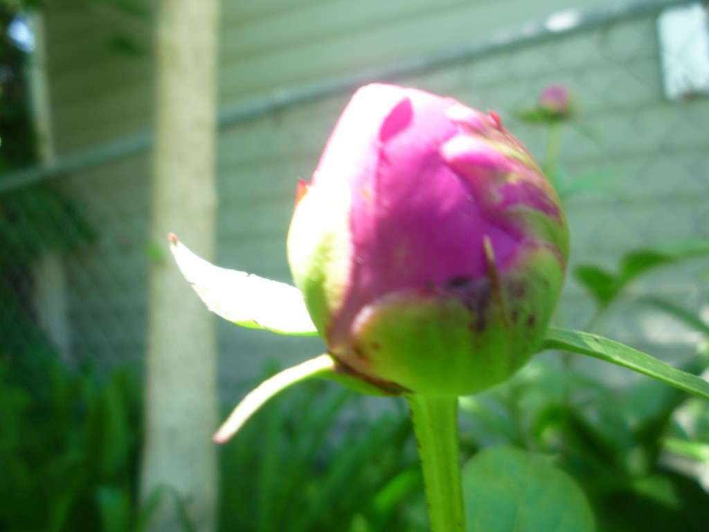 fat peony bud in my garden