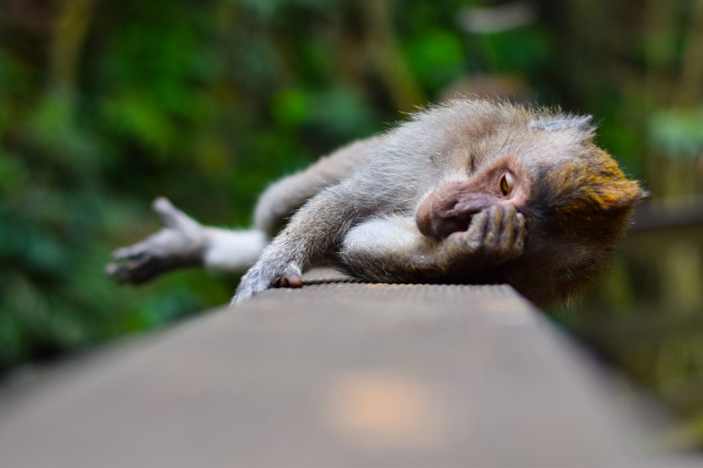 a monkey lays on its side, clearly overwhelmed