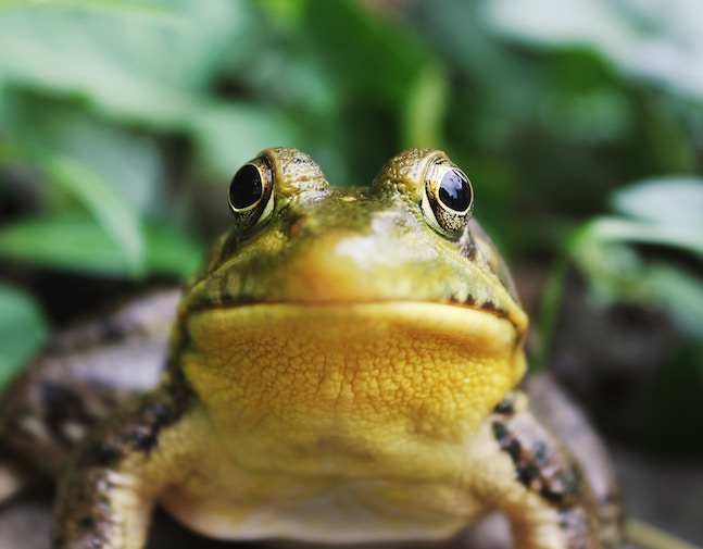An image of a frog looking directly at the viewer--I imagine that the frog looks a little nervous.